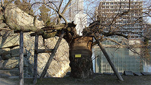 alberi-di-hiroshima